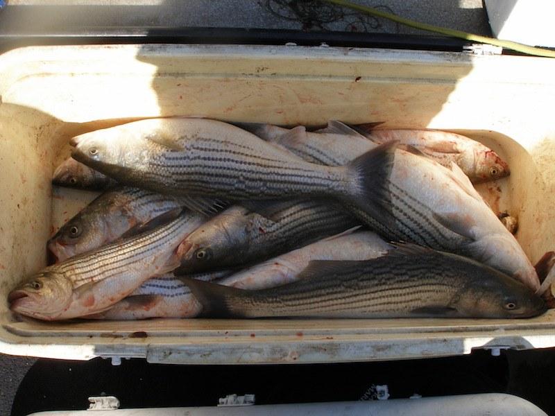 sacramento river striper fishing guide