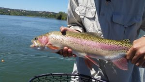 large lower sacramento river trout